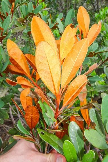 Acridocarpus austrocaledonicus