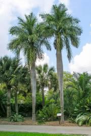 Acrocomia crispa – Cuban Belly Palm