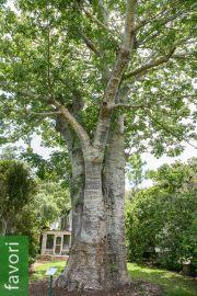 Adansonia digitata – Baobab