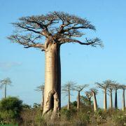 Adansonia grandidieri – Grandidier's Baobab, EU ONLY