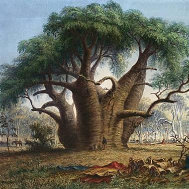 Adansonia gregorii – Australian Baobab, Gadawon