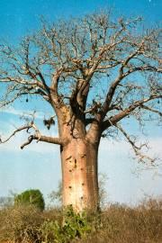 Adansonia madagascariensis – Madadagascar Baobab
