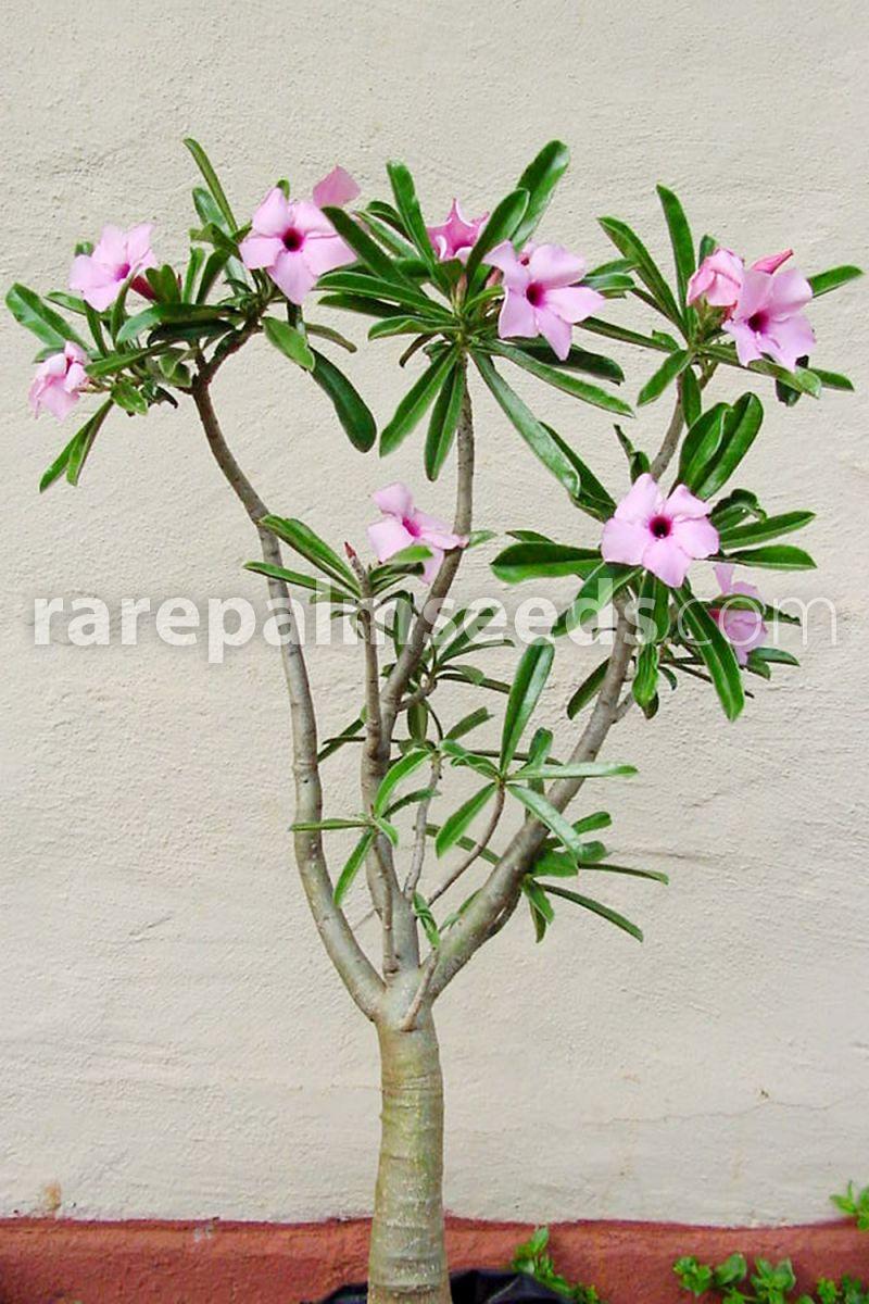 Adenium swazicum – Buy seeds at rarepalmseeds com