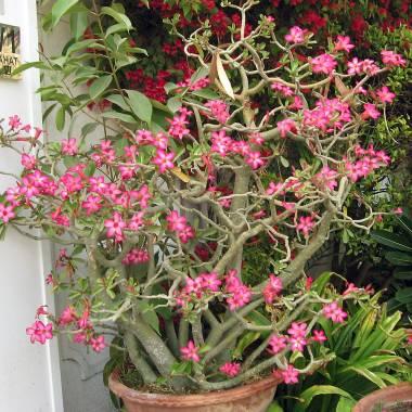 Adenium obesum – Desert Rose