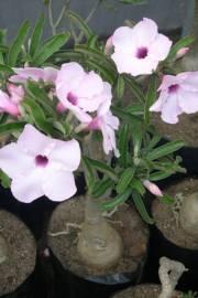 Adenium swazicum