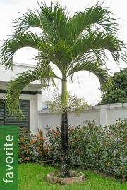 Adonidia merrillii – Christmas Palm