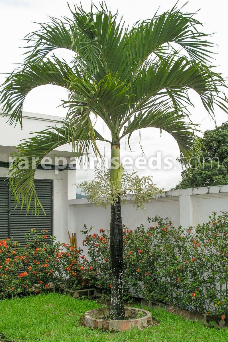 Adonidia Merrillii Christmas Palm Buy Seeds At Rarepalmseeds Com