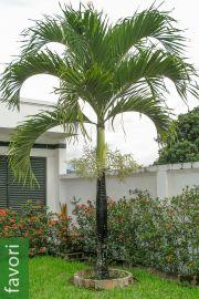 Adonidia merrillii – Palmier de Noël