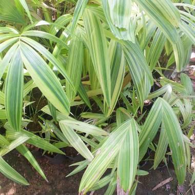 Adonidia merrillii 'Variegata' – Christmas Palm