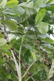 Aegiphila sellowiana – Tamanqueira