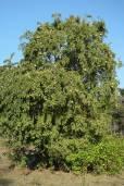 Aegle marmelos – Bael, Bengal Quince, Wood Apple