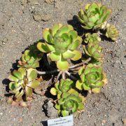 Aeonium davidbramwellii
