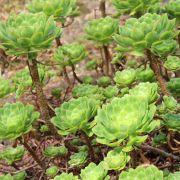 Aeonium lancerottense – Bejeque de malpaís