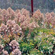 Aeonium percarneum