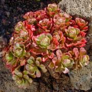 Aeonium spathulatum