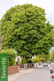 Aesculus hippocastanum – Horse-Chestnut