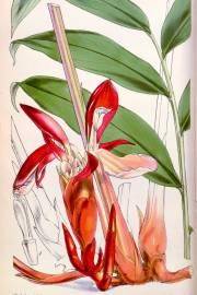 Aframomum daniellii – Daniell's Red African Ginger