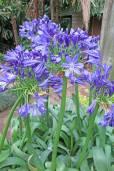 Agapanthus praecox 'Large Blue' – Large Blue Lily of the Nile