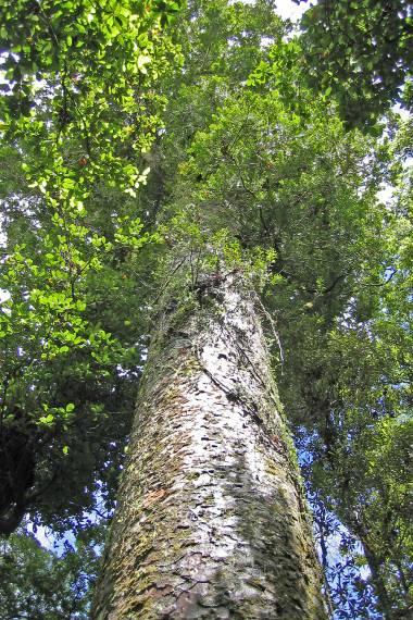 Agathis australis – New Zealand Kauri