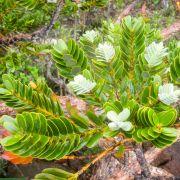 Agathis ovata – Mountain Kauri