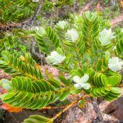 Agathis ovata – Ovalblättriger Kauribaum