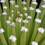 Agave albopilosa – White Tuft Agave
