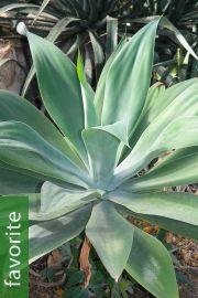 Agave attenuata subsp. attenuata – Fox Tail Agave