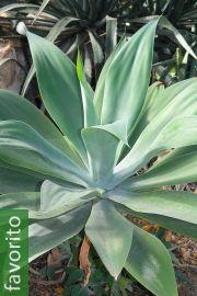 Agave attenuata subsp. attenuata – Trompa de elefante