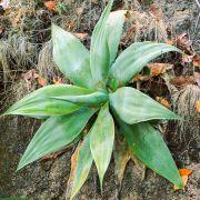 Agave attenuata subsp. dentata – Soft Agave