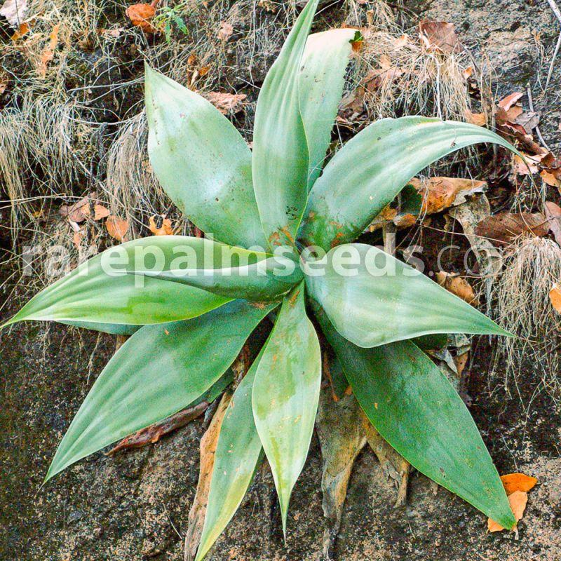 dentata succulents 50 seeds of agave attenuata subsp succulents seed C cacti