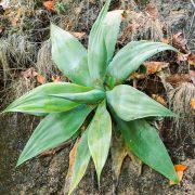 Agave attenuata subsp. dentata – Trompa de elefante