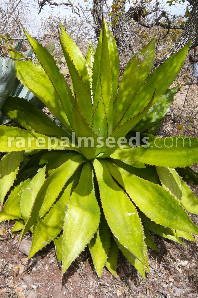 Seeds Cow Horn Agave Agave bovicornuta