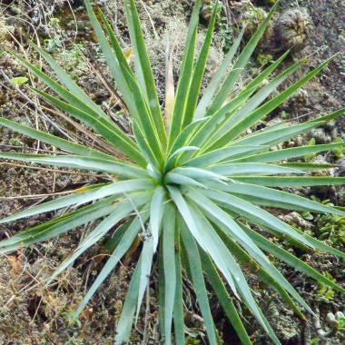 Agave dasylirioides – Maguey intrépido