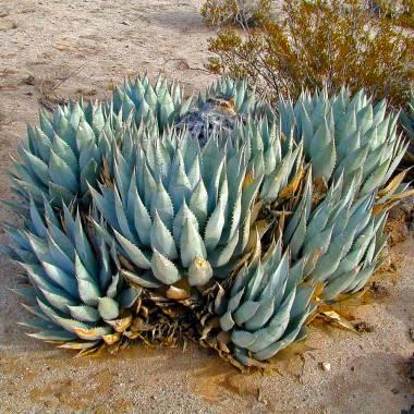 Agave deserti var. deserti – Sonora Desert Agave