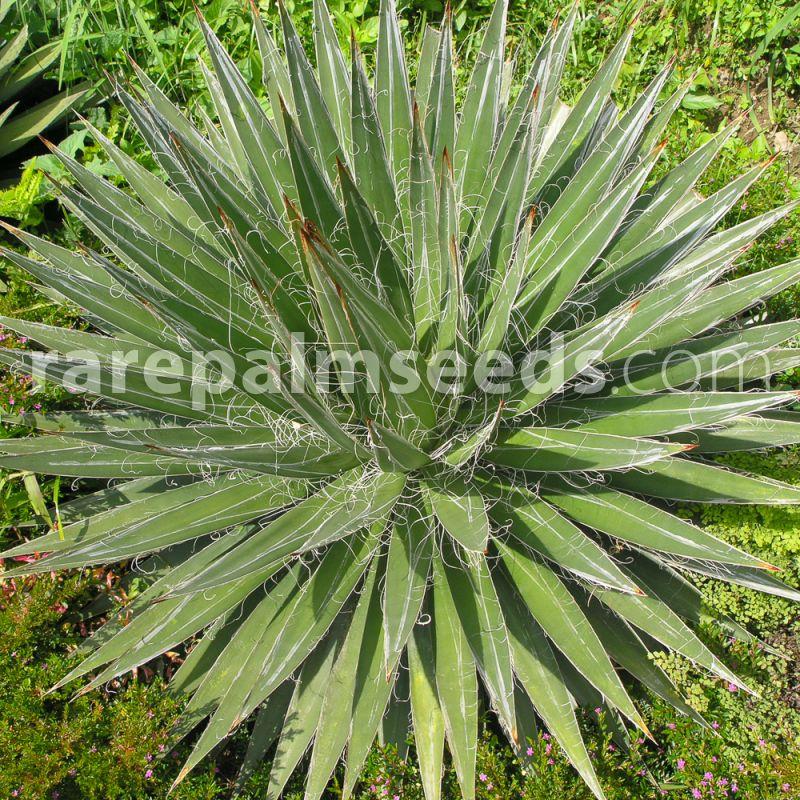20 Seeds Agave filifera Thread Agave