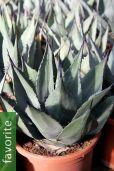 Agave havardiana – Havards Century Plant, Chisos Agave