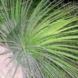 Agave multifilifera – White Thread Agave
