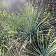 Agave striata subsp. falcata 'Blue'