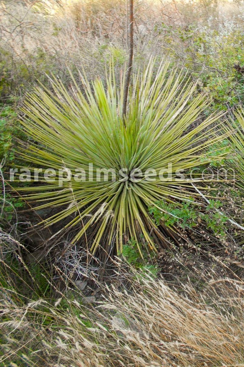 1 PLANT Agave stricta longifolia RARE SUCCULENT PLANT garden ornamental