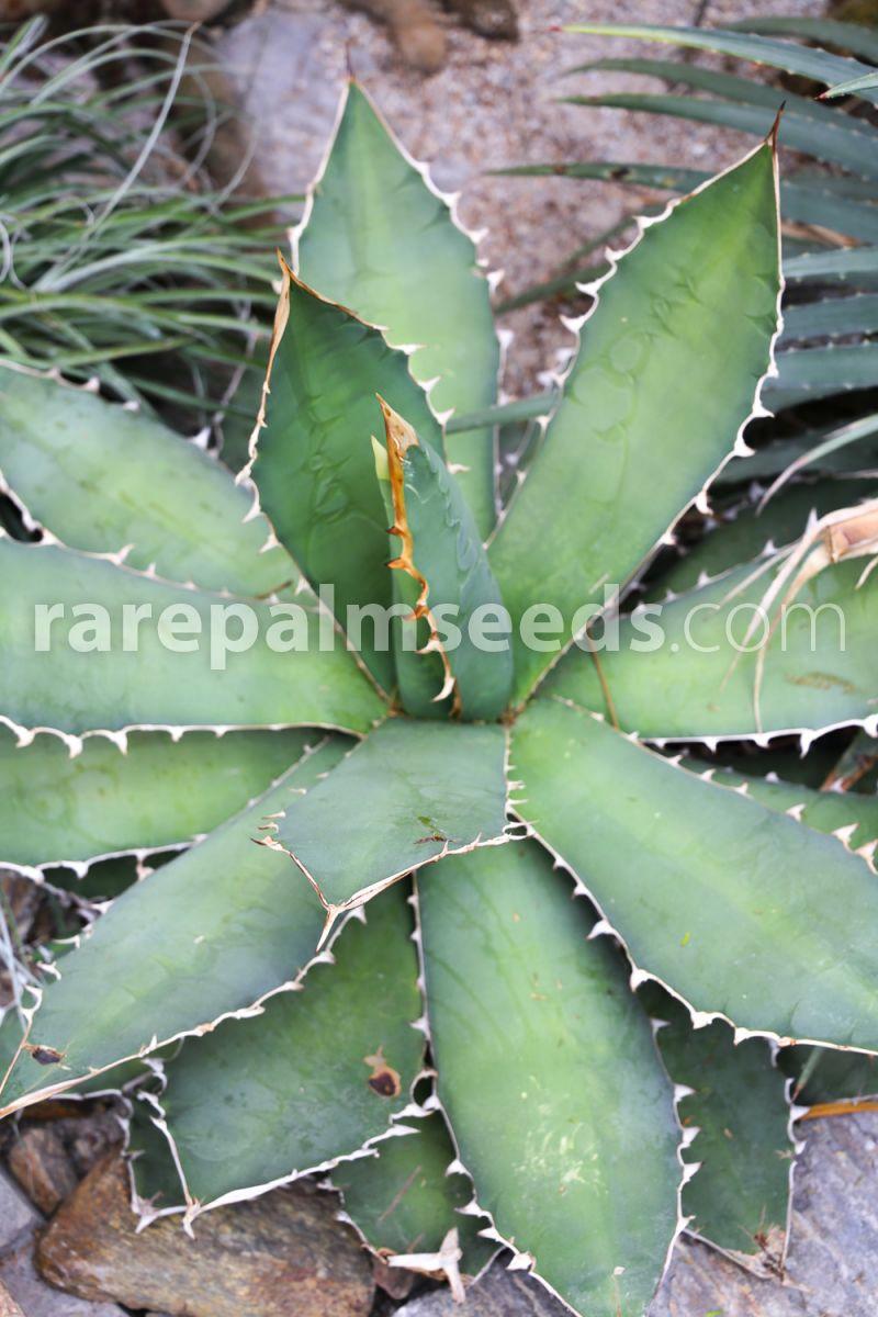 succulente,seed succulents 10 semi di agave titanota