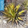 Agave triangularis – Cacalla, Tunecho