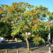 Ailanthus altissima – Götterbaum