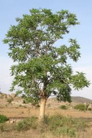 Ailanthus excelsa – Indischer Götterbaum
