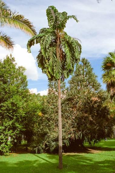 Aiphanes minima – Macaw Palm