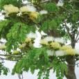 Albizia guachapele