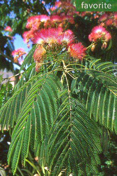 Albizia julibrissin 'Rosea' – Pink Silk Tree