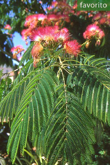 Albizia julibrissin 'Rosea' – Árbol de la seda, acacia de Constantinopola
