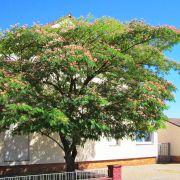 Albizia julibrissin – Seidenbaum