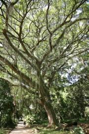 Albizia saman – Regenbaum