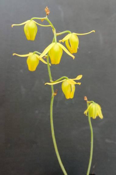 Albuca tenuifolia
